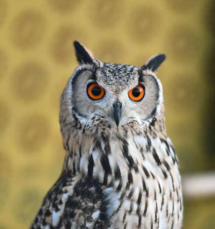 gufo con grandi occhi arancioni