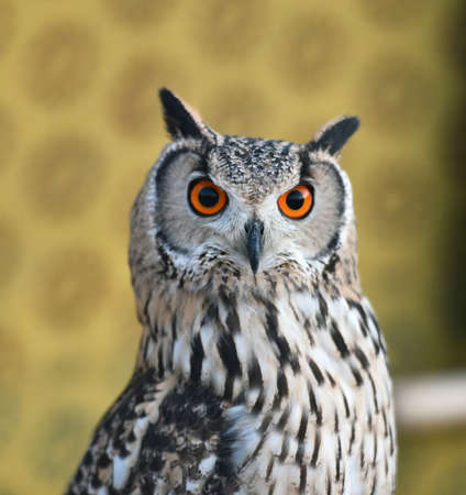 owl with big orange eyes 写真素材
