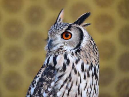 head of beautiful owl royal 写真素材