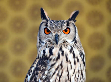 owl royal with big eyes