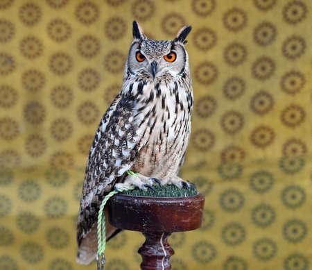 beautiful owl royal 写真素材