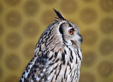 head of owl royal 写真素材