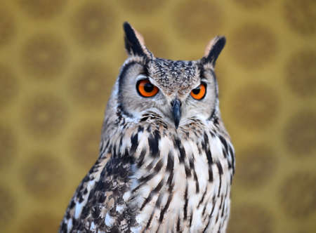 owl royal 写真素材 - 132061013
