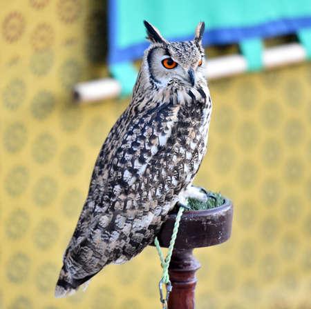 owl 写真素材 - 132060951
