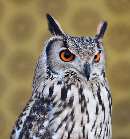 owl royal 写真素材