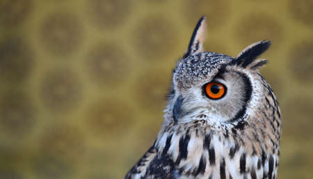 owl royal 写真素材 - 132061079