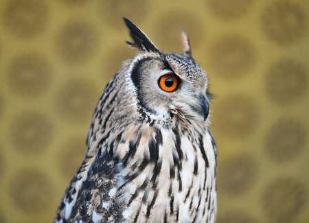 owl royal Banco de Imagens