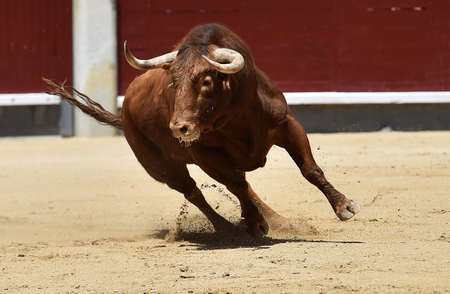 The bull running on spanish bullring 版權商用圖片