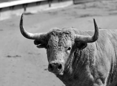 portrait of bull Stockfoto