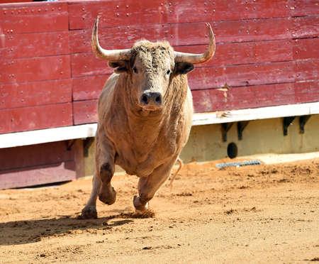 bull in spain running on the bullring Imagens