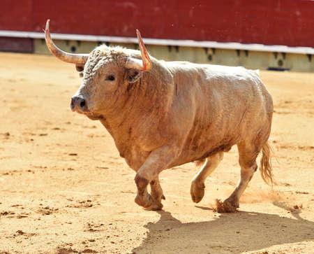 bull running in the spanish bullring