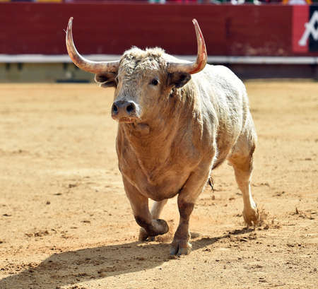 Strong bull in a bullring on Spain