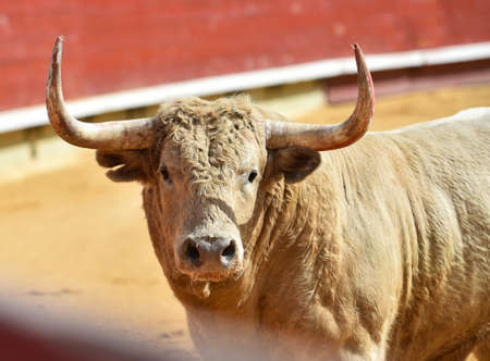 Strong bull with big horns