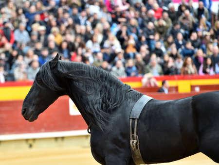 Beautiful spanish horse