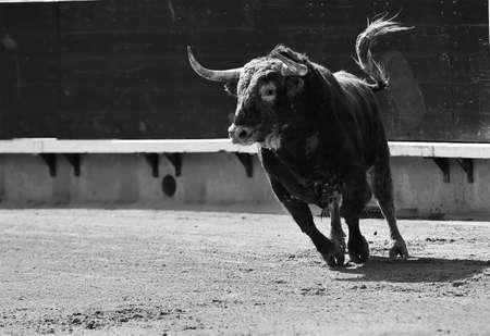 spanish bull running in the bullring