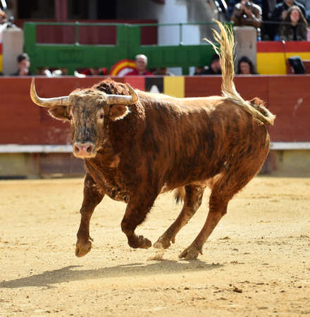 Angry bull on Spain with big horns 写真素材