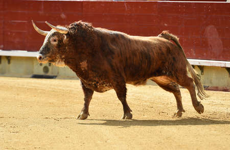 bull in spain with big horns running in the bullring