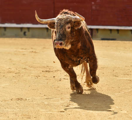 spanish bull running on the bullring in a traditional spectacle of bullfight
