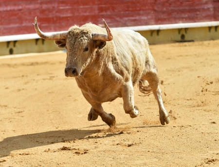 The bull in traditional spectacle of bullfight on spanish bullring