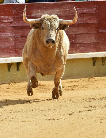 Bull in Spain with big horns