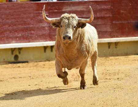spanish bull running on the bullring in a traditional spectacle of bullfight Imagens