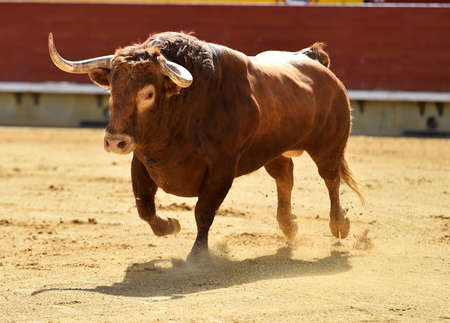 Bull with big horns running on the bullring