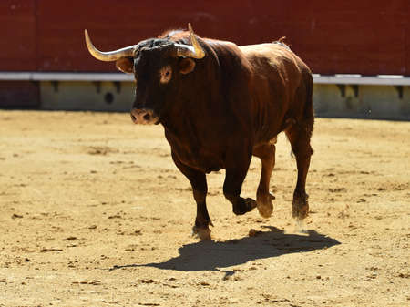 spanish bull with big horns in a bullring