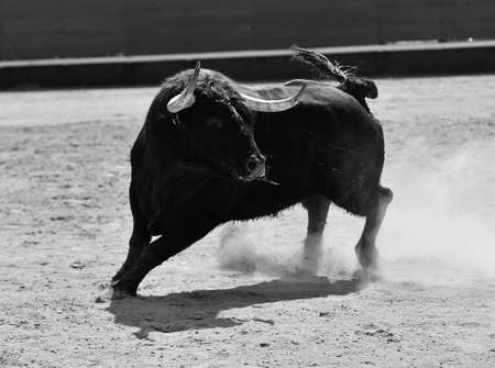 spanish strong bull running on the bullring in a traditional spectacle of bullfight