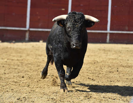 spanish powerful bull on the field