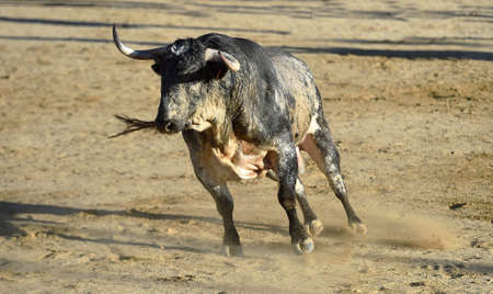 a big bull with big horns on spanish bullring