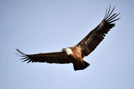 vulture griffon on a natural park