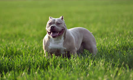 bully dog on the green field