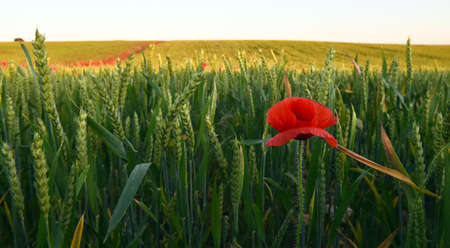 some beautiful poppies at sunsent in the green field