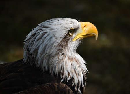 an majestic bald eagle Standard-Bild