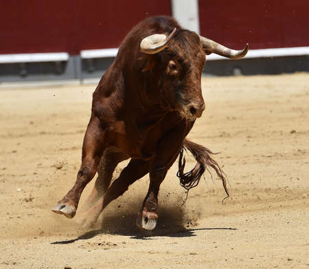 a bull with big horns on spanish spectacle of bullfight