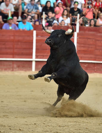 a black bull on the traditional spectacle of bullfight on spain