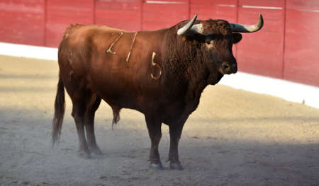 bull with big horns on the spanish bullring Stock Photo