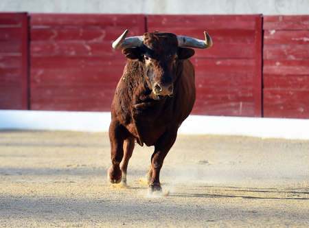 a strong bull on the spanish bullring with big horns Stock Photo