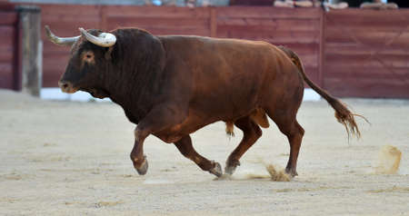 a powerful bull with big horns on spanish show of bullfight Stock Photo