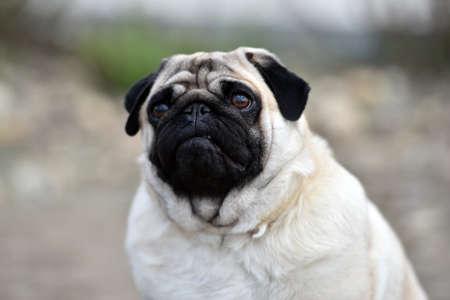 pug dog on the field