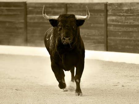 big bull running on the spanish bullring