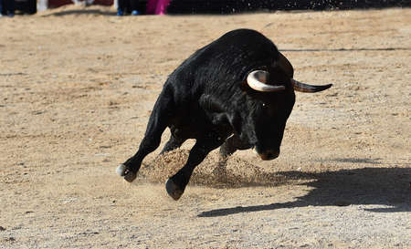 an aggressive bull with big horns on the traditional spectacle of bullfight