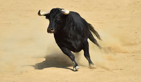 a powerful bull on spain in the traditional spectacle of bullfight on spain