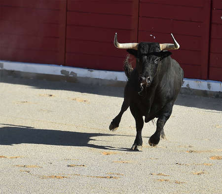 black bull with big horns on spain