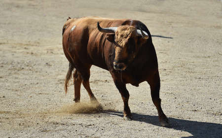 spanish bull with big horns on the bullring on spectacle of bullfight