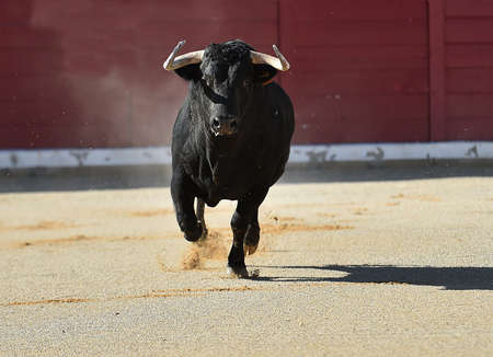 a strong bull with big horns on the spanish bullring in a traditional spectacle of bullfight