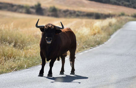 a strong spanish bull on the field