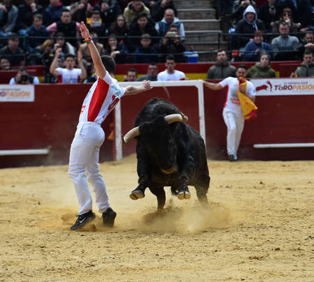 black bull with big horns on the spanish bullring