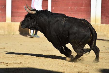 fighting bull with big horns on spain Standard-Bild
