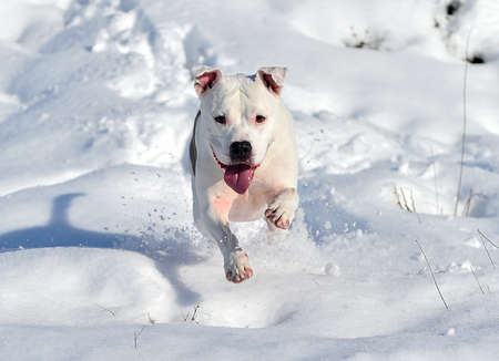 a lovely pit bull terrier in the snow